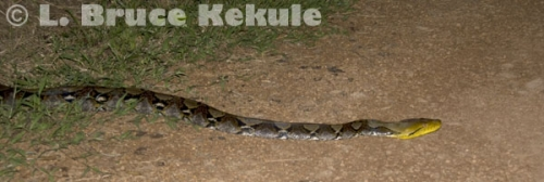 Reticulated python on a road in Kaeng Krachan