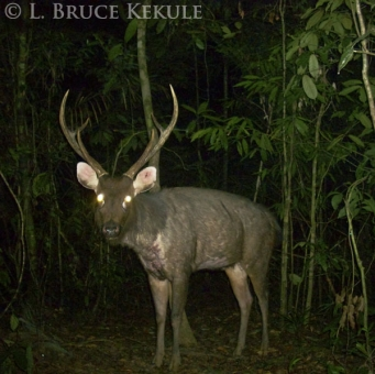 Sambar stag camera-trapped in Khlong Saeng