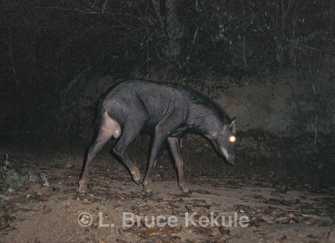 Serow in Kaeng Krachan National Park