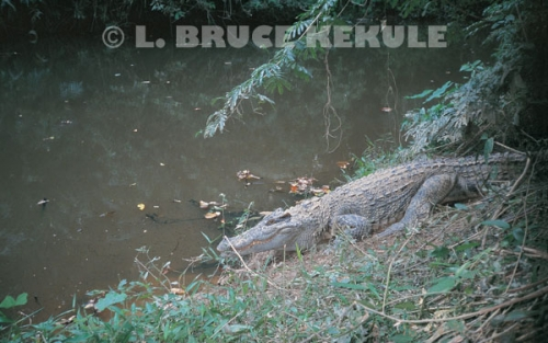 Siamese crocodile in Khao Ang Rue Nai Wildlife Sanctuary