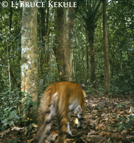 Indochinese tiger camera-trap abstract