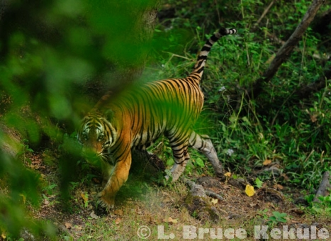 "Indochinese tiger's ""Last Look"""