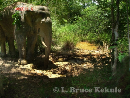 Asian elephant - tusker at a waterhole in Khao Ang Rue Nai