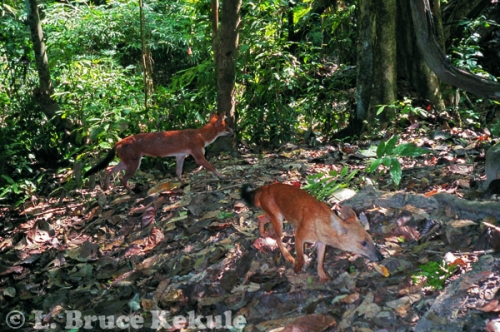 Asian wild dog camera-trapped in Kaeng Krachan
