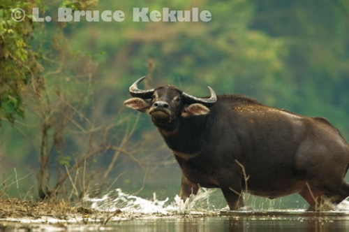 Wild water buffalo bull