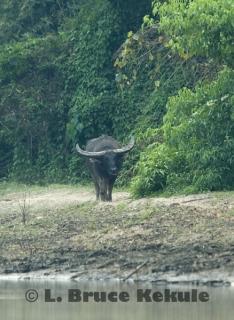 wild-water-buffalo-bull_0