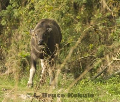 Wild water buffalo calf in Huai Kha Khaeng Wildlife Sanctuary