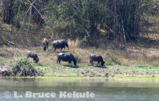 Wild water buffalo herd in Huai Kha Khaeng