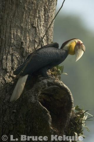 Wreathed hornbill in Kaeng Krachan