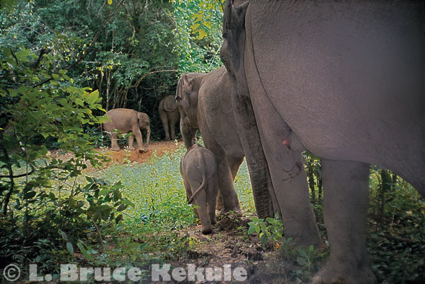 Wild elephant family unit in Kaeng Krachan