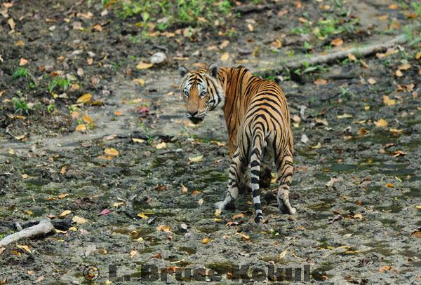 Indochinese tiger in Huai Kha Khaeng