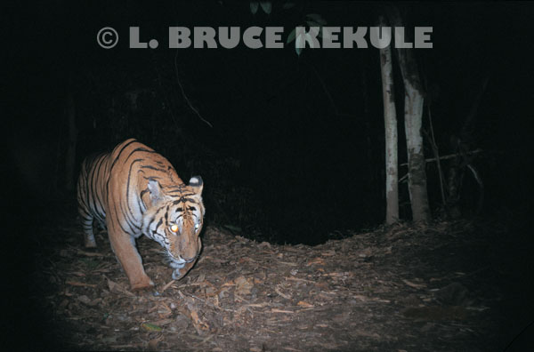 Tiger prowling by the Phetchaburi river