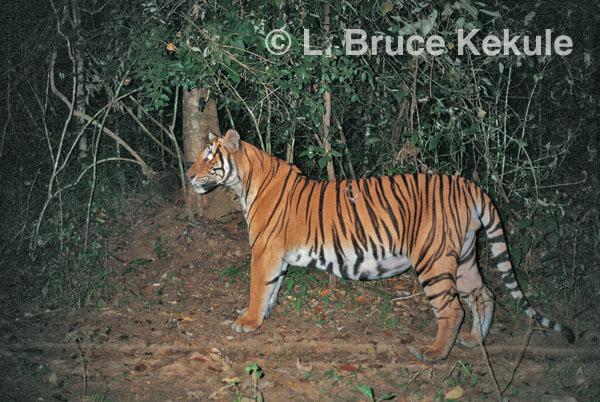 TIGRE - panthera tigris - Page 5 Indochinese-tiger-on-logging-road