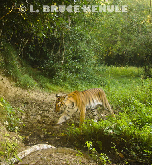 Indochinese tiger in a mineral lick