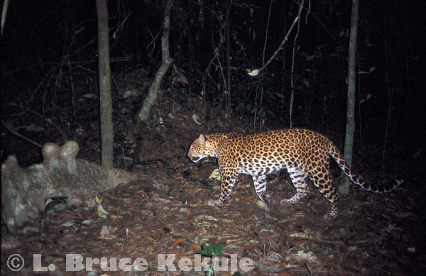Leopard camera-trapped in Kaeng Krachan National Park