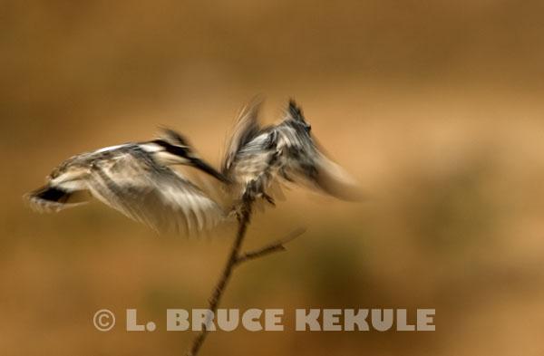 Pied-kingfishers