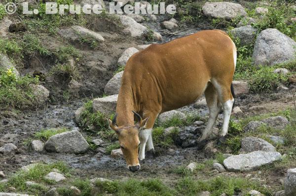 Banteng cow at a mineral lick in Huai Kha Khaeng