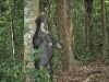 Asiatic sun bear camera-trapped in Kaeng Krachan