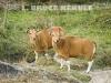 Banteng-cows