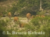 Banteng herd in Huai Kha Khaeng
