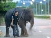 Begging elephant near 700 year stadium in Chiang Mai