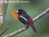 Black and Red Broadbill in Kaeng Krachan