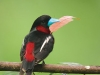 Black-and-red broadbill in Kaeng Krachan