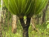 Cycad by the road in Thung Yai