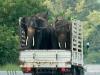 Elephants on a truck in Chiang Mai