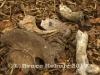 Gaur Bones in HKK