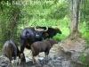 Gaur herd at a mineral lick