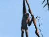 Gibbon hanging from bamboo on Phanern Thung