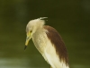 Indian pond-heron