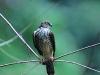 Japanese sparrowhawk in Kaeng Krachan