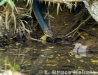 King cobra hunting by the Phetchaburi River