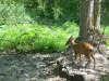 Red muntjac - common barking deer at a mineral deposit in Kaeng Krachan
