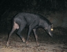 Serow camera-trapped in Kaeng Krachan National Park