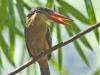 Stork-billed kingfisher in Kaeng Krachan