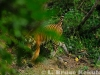 """Indochinese tiger's """"Last Look"""""""