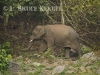 Tusker at mineral lick in Huai Kha Khaeng WS