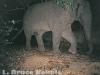 Tuskless bull camera trapped in Kaeng Krachan