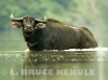 Wild-water-buffalo-bull