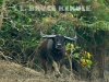 Wild-water-buffalo-charging