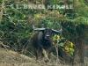 Wild-water-buffalo-charging
