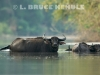 Wild-water-buffalo-herd