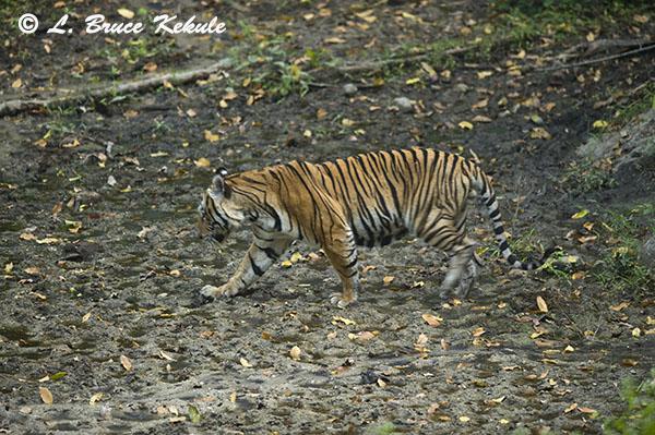 Tiger male in Huai Kha Khaeng