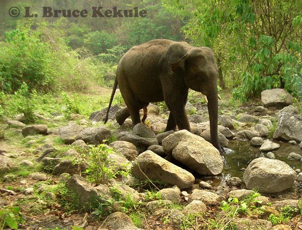 Asian elephant - tusker in Huai Kha Khaeng