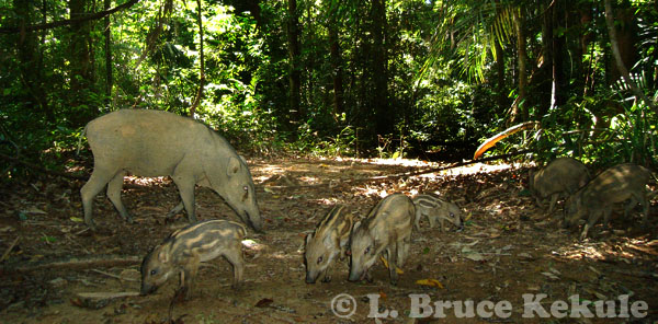 Wild pig mother and piglets in Khlong Saeng Wildlife Sanctuary, Southern Thailand