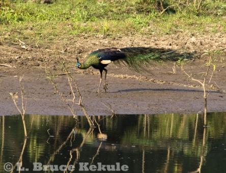 Green peafowl male in Huai Kha Khaeng