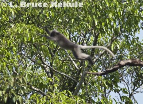 Leaping langur in Kaeng Krachan